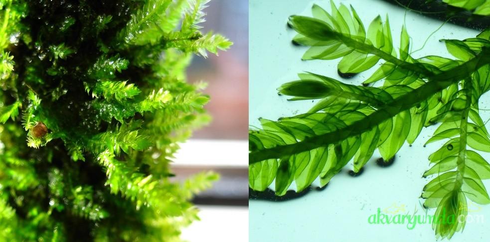 Vesicularia Montagnei - Christmas Moss3